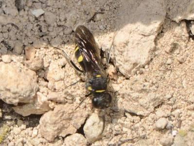 Nysson trimaculatus [Famille : Crabronidae]