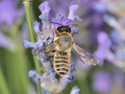 Megachile ericetorum [Famille : Apidae]