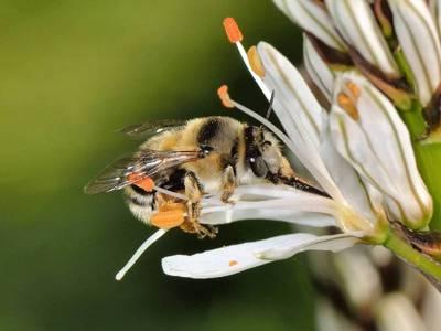 Anthophora aestivalis [Famille : Apidae]