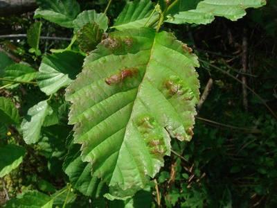 Acalitus brevitarsus [Famille : Eriophyidae]
