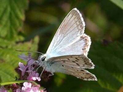 Lysandra coridon [Famille : Lycaenidae]