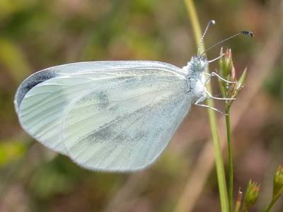 Leptidea sinapis [Famille : Pieridae]