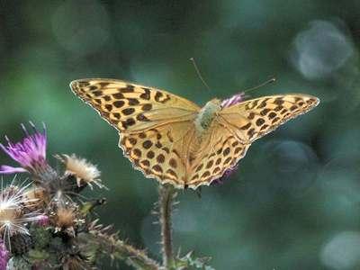 Argynnis paphia [Famille : Nymphalidae]