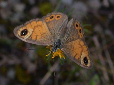 Lasiommata maera [Famille : Nymphalidae]
