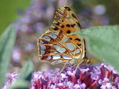 Issoria lathonia [Famille : Nymphalidae]