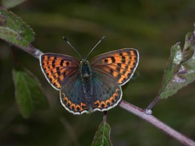Lycaena tityrus [Famille : Lycaenidae]