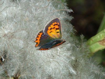 Lycaena phlaeas [Famille : Lycaenidae]