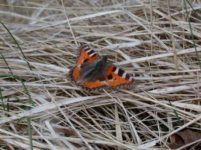 Aglais urticae [Famille : Nymphalidae]