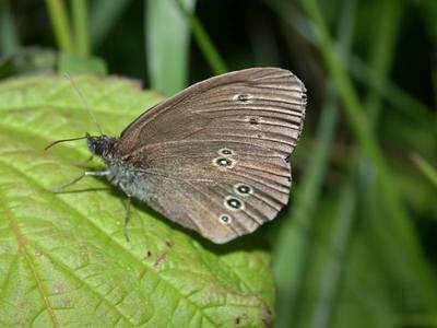 Aphantopus hyperantus [Famille : Nymphalidae]