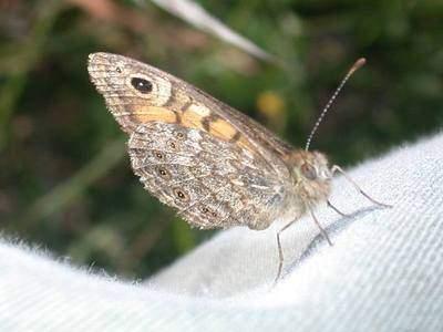 Lasiommata megera [Famille : Nymphalidae]