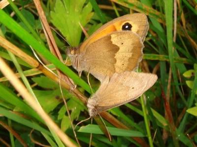 Maniola jurtina [Famille : Nymphalidae]
