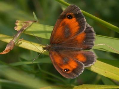Pyronia tithonus [Famille : Nymphalidae]