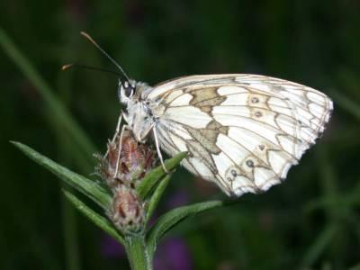Melanargia galathea [Famille : Nymphalidae]