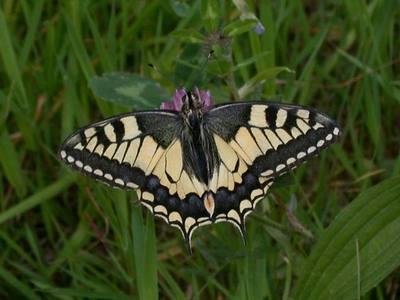 Papilio machaon [Famille : Papilionidae]