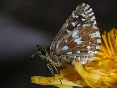 Pyrgus malvae [Famille : Hesperiidae]