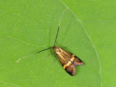 Nemophora degeerella [Famille : Adelidae]