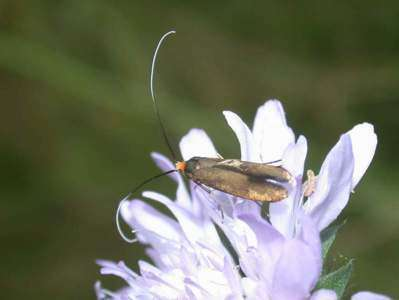 Nemophora metallica [Famille : Adelidae]