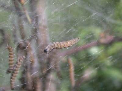 Yponomeuta padella [Famille : Yponomeutidae]