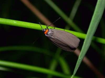 Atolmis rubricollis [Famille : Arctiidaea]