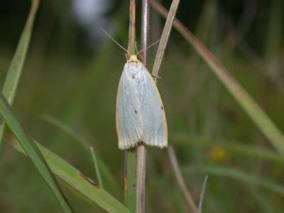 Cybosia mesomella [Famille : Arctiidaea]