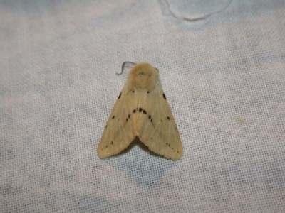 Spilosoma luteum [Famille : Arctiidaea]