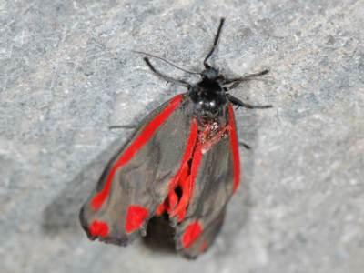Tyria jacobaeae [Famille : Arctiidaea]