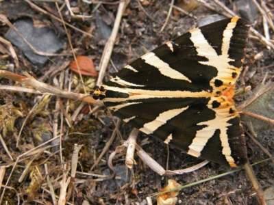 Euplagia quadripunctaria [Famille : Arctiidaea]