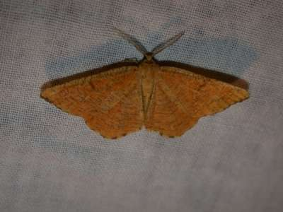 Angerona prunaria [Famille : Geometridae]