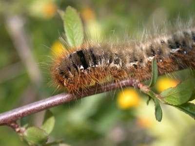 Lasiocampa quercus [Famille : Lasiocampidae]