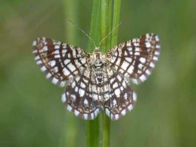 Semiothisa clathrata [Famille : Geometridae]