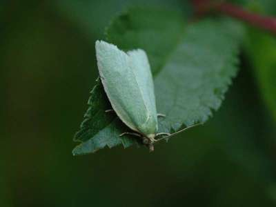 Tortrix viridana [Famille : Tortricidae]