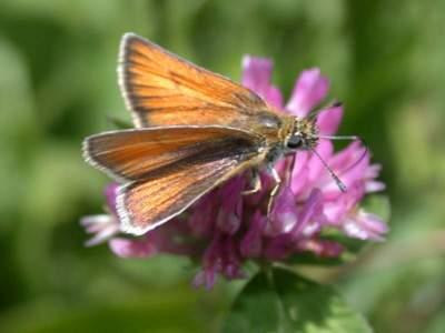 Thymelicus lineolus [Famille : Hesperiidae]