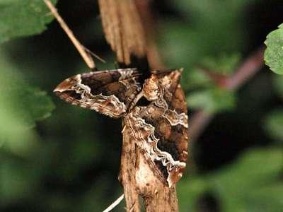 Eulithis prunata [Famille : Geometridae]