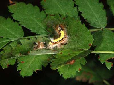 Acronicta psi [Famille : Noctuidae]
