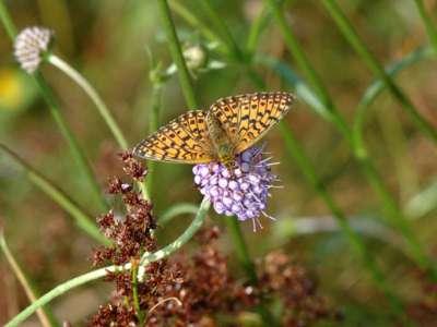 Clossania selene [Famille : Nymphalidae]