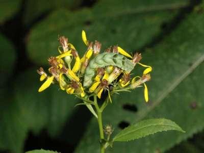 Melanchra persicariae [Famille : Noctuidae]