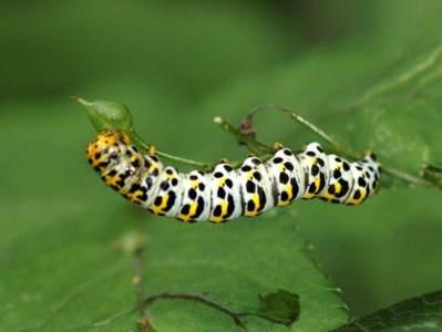 Cucullia scrophulariae [Famille : Noctuidae]