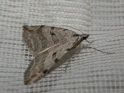 Aplocera plagiata [Famille : Geometridae]