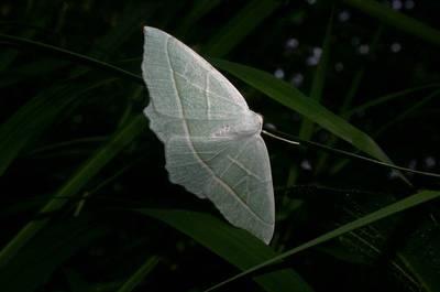 Campaea margaritata [Famille : Geometridae]