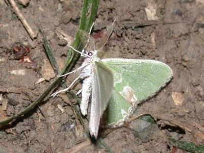 Comibaena bajularia [Famille : Geometridae]