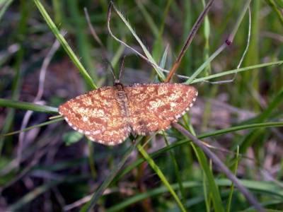 Ematurga atomaria [Famille : Geometridae]