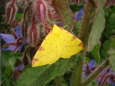 Opisthograptis luteolata [Famille : Geometridae]