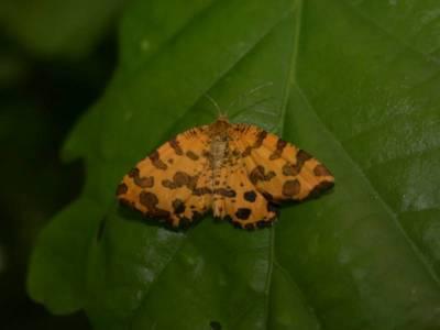 Pseudopanthera macularia [Famille : Geometridae]
