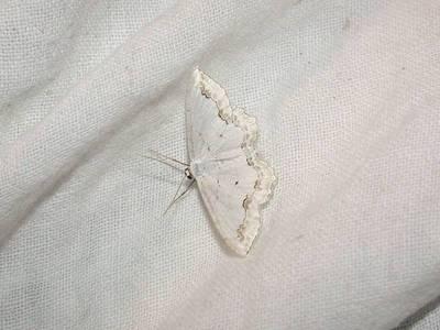 Scopula ornata [Famille : Geometridae]