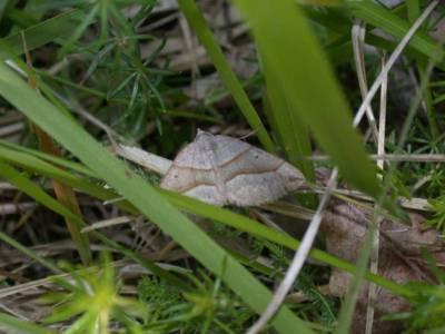 Scotopteryx mucronata [Famille : Geometridae]
