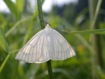 Siona lineata [Famille : Geometridae]