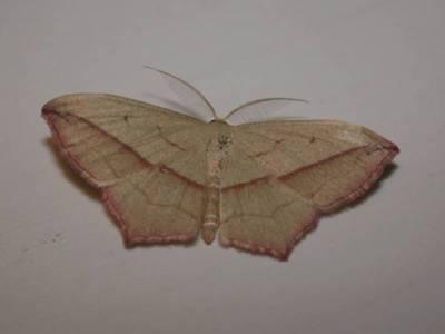 Timandra comae [Famille : Geometridae]
