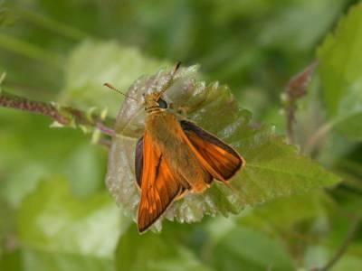 Ochlodes venatus [Famille : Hesperiidae]