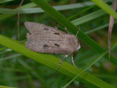 Agrotis exclamationis [Famille : Noctuidae]
