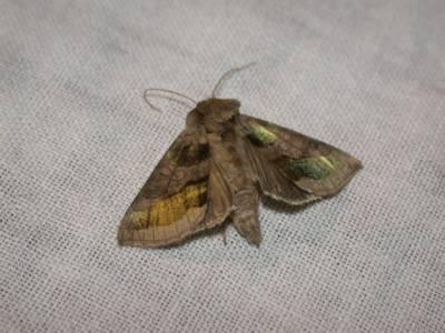 Diachrysia chrysitis [Famille : Noctuidae]